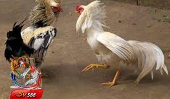Cara Simpel Daftar Adu Ayam Dengan Depo Murah